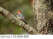 Купить «Red-bellied Woodpecker (Melanerpes carolinus) resting on tree branch, Massachusetts, USA. April.», фото № 33804458, снято 4 июня 2020 г. (c) Nature Picture Library / Фотобанк Лори