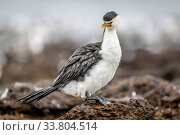 Little pied cormorant (Microcarbo melanoleucos) on rocks by the shore. Ricketts Point, Beaumaris, Victoria, Australia. May, Стоковое фото, фотограф Doug Gimesy / Nature Picture Library / Фотобанк Лори
