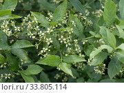 Купить «European Spindle tree (Euonymus europaeus) flowering plant, Berkshire, England, UK, June», фото № 33805114, снято 13 июля 2020 г. (c) Nature Picture Library / Фотобанк Лори