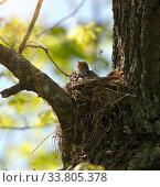 Купить «Chick with open beak in nest waiting for food», фото № 33805378, снято 19 мая 2019 г. (c) Куликов Константин / Фотобанк Лори