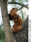 Купить «Fluffy red cat (breed Somali) in the park, sitting in a fork in a tree», фото № 33805390, снято 12 мая 2019 г. (c) Куликов Константин / Фотобанк Лори