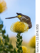 Купить «Cape sugarbird (Promerops cafer) feeding from Pincushion (Leucospermum cordifolium) flower, Kirstenbosch Botanical Gardens, Cape Town, South Africa, September.», фото № 33814950, снято 25 мая 2020 г. (c) Nature Picture Library / Фотобанк Лори