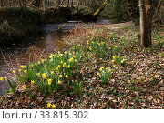 Купить «Wild daffodil (Narcissus pseudonarcissus) mass in woodland setting, beside Lin Brook, Ringwood, Hampshire, England, UK, March 2018.», фото № 33815302, снято 29 мая 2020 г. (c) Nature Picture Library / Фотобанк Лори