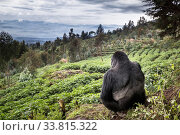 Mountain gorilla (Gorilla beringei beringei) silverback sitting on boundary wall between Volcanoes National Park and a Potato crop, looking into valley. Area to be restored to forest. Rwanda. Стоковое фото, фотограф Christophe Courteau / Nature Picture Library / Фотобанк Лори