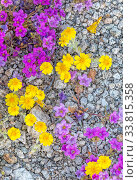 Purplemat (Nama demissum) and California goldfields (Lasthenia californica) growing through pebbles of a dry streambed. Joshua Tree National Park, Mojave Desert, California, USA. 25th March 2019. Стоковое фото, фотограф Jack Dykinga / Nature Picture Library / Фотобанк Лори
