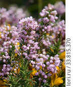 Купить «Cornish heath (Erica vagans) clump flowering on montane pastureland, above the Lakes of Covadonga, at 1300m, Picos de Europa, Asturias, Spain, August.», фото № 33815370, снято 2 июня 2020 г. (c) Nature Picture Library / Фотобанк Лори