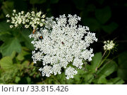 Купить «Wild carrot / Queen Anne's lace (Daucus carota) dense white umbel with insects and a single dark red maroon floret in the centre. Berkshire, England, UK.», фото № 33815426, снято 25 мая 2020 г. (c) Nature Picture Library / Фотобанк Лори