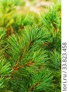 Купить «Needles of branch Japanese Stone Pine Pinus Pumila. Natural coniferous medicinal plant used in traditional and folk medicine», фото № 33823458, снято 30 августа 2019 г. (c) А. А. Пирагис / Фотобанк Лори