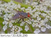 Fliege 'Helina obscurata'? Bin mir nicht sicher da in verschieden Bildagenturen und Insektenforen diese Fliege mit unterchiedlichen Bezeichnungen zu finden ist, Phaonia valida, Mydaea corni usw. Стоковое фото, фотограф Zoonar.com/Falke / easy Fotostock / Фотобанк Лори