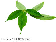 Купить «Fresh rubber tree leaves isolated on white background. Hevea brasiliensis.», фото № 33826726, снято 7 июля 2020 г. (c) easy Fotostock / Фотобанк Лори
