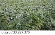 Купить «Farm field with green artichoke plants», видеоролик № 33827370, снято 18 января 2020 г. (c) Яков Филимонов / Фотобанк Лори
