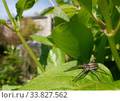 Купить «Nursery web spider (Pisaura mirabilis) hunting on a Honeysuckle leaf in a garden, with buildings in the background, Wiltshire, UK, April.», фото № 33827562, снято 28 мая 2020 г. (c) Nature Picture Library / Фотобанк Лори