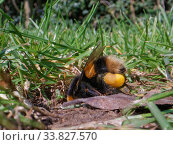 Купить «Buff-tailed bumblebee (Bombus terrestris) queen returning to her nest burrow in a garden lawn with full pollen sacs to provision grubs that will become...», фото № 33827570, снято 28 мая 2020 г. (c) Nature Picture Library / Фотобанк Лори