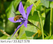 Купить «Common bee fly (Bombylius major) nectaring on a Greater periwinkle flower (Vinca major), Wiltshire garden, UK, April.», фото № 33827578, снято 28 мая 2020 г. (c) Nature Picture Library / Фотобанк Лори