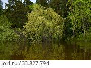 Купить «Flowering willow flooded during spring flood», фото № 33827794, снято 15 мая 2020 г. (c) Евгений Харитонов / Фотобанк Лори
