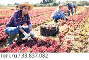 Купить «Portrait of woman gardener picking harvest of red lettuce to crate and using knife», фото № 33837082, снято 10 июля 2020 г. (c) Яков Филимонов / Фотобанк Лори