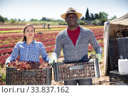 Successful horticulturists with boxes of red lettuce harvest. Стоковое фото, фотограф Яков Филимонов / Фотобанк Лори