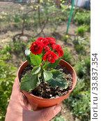 Купить «Пеларгония красная махровая (розебудная герань)», фото № 33837354, снято 1 мая 2020 г. (c) Кузнецов Максим / Фотобанк Лори