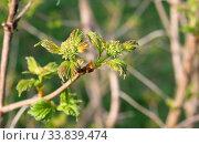 Молодые побеги малины (Rubus idaeus). Весна, апрель. Стоковое фото, фотограф Щеголева Ольга / Фотобанк Лори