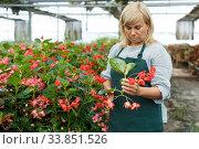 Female gardener with scissors working with red begonia plants in hothouse. Стоковое фото, фотограф Яков Филимонов / Фотобанк Лори