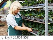 Mature female gardener working with seedlings of euphorbia pulcherrima. Стоковое фото, фотограф Яков Филимонов / Фотобанк Лори