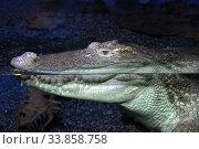Крокодил в воде в террариуме. Крупный план. Стоковое фото, фотограф Татьяна Белова / Фотобанк Лори