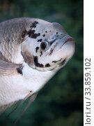Купить «Настоящий или гигантский гурами (Osphromenus goramy). Пресноводная рыба», фото № 33859102, снято 19 марта 2020 г. (c) Татьяна Белова / Фотобанк Лори