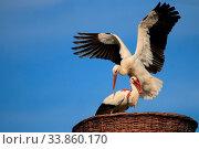 Storch am Niederrhein. Стоковое фото, фотограф Zoonar.com/Franz Ludenberg / age Fotostock / Фотобанк Лори