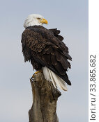 Bald eagle (Haliaeetus leucocephalus) perched, Bosque del Apache National Wildlife Refuge, New Mexico, USA. Стоковое фото, фотограф Jack Dykinga / Nature Picture Library / Фотобанк Лори