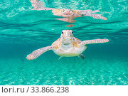 Купить «Green sea turtle (Chelonia mydas) near the surface in shallow water, Eleuthera, Bahamas.», фото № 33866238, снято 31 мая 2020 г. (c) Nature Picture Library / Фотобанк Лори