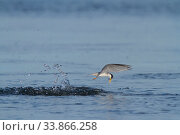 Купить «California least tern (Sternula antillarum browni) emerging from a dive with prey, Bolsa Chica Ecological Reserve, California, USA June/2016», фото № 33866258, снято 12 июля 2020 г. (c) Nature Picture Library / Фотобанк Лори