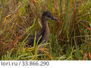 Купить «Ridgeway's rail (Rallus obsoletus levipes) juvenile foraging in wetlands, Bolsa Chica Ecological Reserve, California, USA May.», фото № 33866290, снято 12 июля 2020 г. (c) Nature Picture Library / Фотобанк Лори
