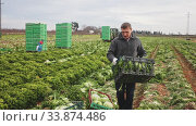 Купить «Focused farm worker arranging freshly harvested frisee in crates on farm plantation», видеоролик № 33874486, снято 5 июня 2020 г. (c) Яков Филимонов / Фотобанк Лори