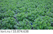 Купить «Hydrangea or hortensia. Field of potted green bushes with flower buds in hothouse», видеоролик № 33874638, снято 12 июля 2020 г. (c) Яков Филимонов / Фотобанк Лори