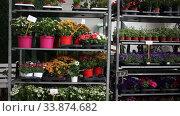 Купить «Assorted blooming flowers in pots on racks prepared for sale in store», видеоролик № 33874682, снято 17 марта 2020 г. (c) Яков Филимонов / Фотобанк Лори