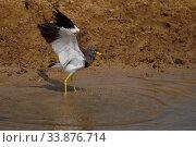 Купить «Grey-headed lapwing (Vanellus cinereus) spreading wings in water in Inner Mongolia, China», фото № 33876714, снято 4 июня 2020 г. (c) Nature Picture Library / Фотобанк Лори