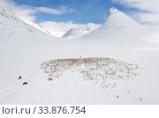 Aerial view of reindeer herders on snowmobiles, moving a large flock of semi-domesticated Reindeer (Rangifer tarandus), to the reindeer calving areas in the Jotunheimen National Park, Norway. April. Стоковое фото, фотограф Orsolya Haarberg / Nature Picture Library / Фотобанк Лори