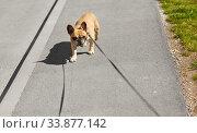 Купить «french bulldog dog on leash walking in city», фото № 33877142, снято 6 мая 2020 г. (c) Syda Productions / Фотобанк Лори
