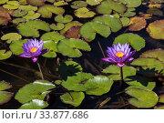 Купить «Two lilac lotuses bloom in a pond. Closeup», фото № 33877686, снято 15 октября 2017 г. (c) Наталья Волкова / Фотобанк Лори