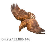 Купить «Golden eagle on white. Eagle with spread wings», фото № 33886146, снято 3 июля 2020 г. (c) Евгений Ткачёв / Фотобанк Лори