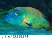Купить «Рыба-Наполеон (Cheilinus undulatus). портрет», фото № 33886874, снято 19 марта 2020 г. (c) Татьяна Белова / Фотобанк Лори