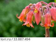 Купить «Succulent plant (Cotyledon orbiculata) with delicate flowers grows close-up», фото № 33887494, снято 8 марта 2020 г. (c) Татьяна Ляпи / Фотобанк Лори