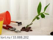 Купить «Orchid dendrobium. Preparing for a transplant. Well visible root system.», фото № 33888202, снято 14 мая 2020 г. (c) Сергей Молодиков / Фотобанк Лори