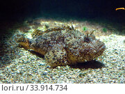 Black scorpionfish (Scorpaena porcus) is a poisonous marine fish native to Mediterranean Sea and eastern Atlantic Ocean from UK to Canary Islands. Стоковое фото, фотограф J M Barres / age Fotostock / Фотобанк Лори
