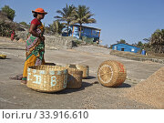 Купить «Korlai beach and its fishing activity with the women at work on the drying and sieving of the dried shrimps, then the portage with these enormous baskets. India 2019.», фото № 33916610, снято 19 марта 2019 г. (c) age Fotostock / Фотобанк Лори