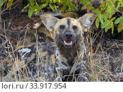 Wild Dog (Lycaon pictus), close-up of an adult resting under a tree, Mpumalanga, South Africa. Стоковое фото, фотограф Saverio Gatto / age Fotostock / Фотобанк Лори