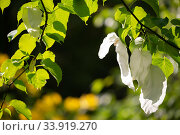 Handerkerchief tree (Davidia involucrata var. vilmoriniana) white flower bracts, Wiltshire, UK, May. Стоковое фото, фотограф TJ Rich / Nature Picture Library / Фотобанк Лори