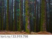 Купить «The dark forest - Pine trees», фото № 33919798, снято 11 декабря 2017 г. (c) Роман Сигаев / Фотобанк Лори