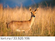 Mountain reedbuck (Redunca fulvorufula) in long grass,  Itala Game Reserve, KwaZulu-Natal Province, South Africa. Стоковое фото, фотограф Richard Du Toit / Nature Picture Library / Фотобанк Лори