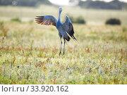 Blue crane (Anthropoides paradiseus) courtship display, Overberg,... Стоковое фото, фотограф Richard Du Toit / Nature Picture Library / Фотобанк Лори